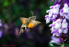 Moro-Sphinx (Ezzo33) Tags: morosphinx france gironde nouvelleaquitaine bordeaux ezzo33 nammour ezzat sony rx10m3 parc jardin papillon papillons butterfly butterflies specanimal macroglossumstellatarum