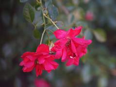 DSC09743 (Lens Lab) Tags: sony a7r achromat 100mm plants garden flowers roses