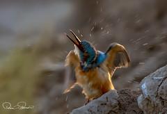 common king fisher (TARIQ HAMEED SULEMANI) Tags: sulemani supershot sensational birds nature winter wildlife bird tariq tourism trekking tariqhameedsulemani travel