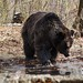 """LiBearty Bear Reservation in Zarnesti, Transylvania (26) • <a style=""""font-size:0.8em;"""" href=""""http://www.flickr.com/photos/131242750@N08/32303334508/"""" target=""""_blank"""">View on Flickr</a>"""