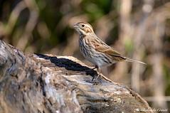 Migliarino di palude _001 (Rolando CRINITI) Tags: migliarinodipalude uccelli uccello birds ornitologia avifauna castellettomerli natura