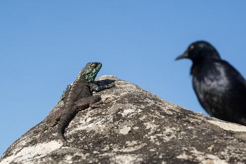 Lizard and Crow