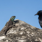 Lizard and Crow thumbnail