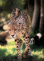 """The Stalker"" (suzneill) Tags: sdzsafaripark sandiegozoosafaripark cheetah californiazoos focusingonthesandiegozooandsafaripark zoophotogroup zoosaroundtheworld zoophotos fortheloveofzoos nationalgeographicanimals flickrbigcats bigcatsfromaroundtheworld"