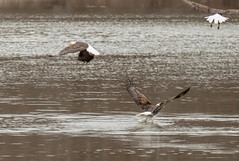 It takes how many......... (114berg) Tags: 01jan19 bald eagles sunset park mississippi river rock island illinois