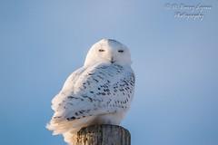 IMG_4353 (D Barry Lyons) Tags: owl snowyowl bird birding wildlife michigan