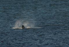 IMG_5398 (monika.carrie) Tags: monikacarrie wildlife scotland aberdeen dolphins dolphin cetacean mammals