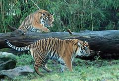sumatran tiger Burgerszoo 094A0743 (j.a.kok) Tags: animal asia azie tijger tiger burgerszoo burgerzoo mammal zoogdier dier predator sumatraansetijger sumatrantiger sumatra pantheratigrissumatrae