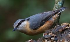 Nuthatch - Upton CP Dorset -140119 (3) (Ann Collier Wildlife & General Photographer) Tags: nuthatch uptoncountrypark poole pooleharbour dorset dorsetwildlife birds bird naturalhistory nature wildlife wildbirds