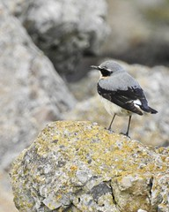 Wheateater (LouisaHocking) Tags: wild wildlife nature southwales creature bird british wales wheateater