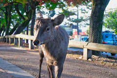Deer on the Street in Nara