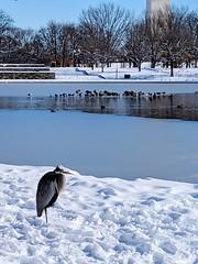 stoic heron (ekelly80) Tags: dc washingtondc january2019 winter snurlough snow snowstorm shutdown trumpshutdown snowday snowywalk white snowy nationalmall constitutiongardens pond frozen snowcovered ice bird heron