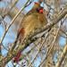 Cardinalis cardinalis (northern cardinal) 17