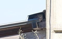 Chevêche d'Athéna - IMG_5872 (6franc6) Tags: vae rando vélo leboncoin occitanie languedoc gard 30 janvier 2019 6franc6