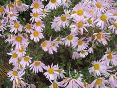 ** Après un gel ** (Impatience_1(très peu présente)) Tags: chrysanthèmedautomne chrysanthemumxgrandiflorum chrysanthèmedesfleuristes florisrsdaisy chrysanthèmehorticole hardygardenmum chrysanthemum fleur flower m impatience naturallywonderful coth supershot abigfave coth5 alitttlebeauty sunrays5 ngc