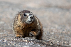 A Small, Momtary, Pause (Theodore A. Stark) Tags: ifttt 500px 2018 alpine animals canon claws clear creek county co colorado gps infant july male marmot mature mount evans mt outdoors stark summer summit ted theodore a tstarkcom usa clearcreekcounty mountevans mtevans tedstark theodoreastark wild evergreen unitedstates