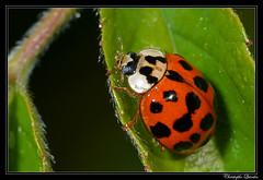 Coccinelle asiatique (Harmonia axyridis) (cquintin) Tags: arthropoda coleoptera coccinellidae harmonia axyridis