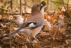 Swallowing an acorn (hedera.baltica) Tags: jay eurasianjay sójka sójkazwyczajna garrulusglandarius