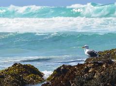 DSC_0890 (afagen) Tags: california pacificgrove montereypeninsula asilomar beach pacificocean ocean asilomarstatemarinereserve bird