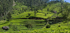 Tea plantation (loveexploring) Tags: dambatenna dambatennateaestate srilanka srilankashillcountry green highlands landscape panorama tea teaestate teapicker teaplantation worker uvaprovince lk