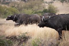 Buffalo (wwpics19) Tags: mahalimzuri grassland animal kenya safari afrika olareorokconservancy buffalo staring