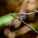 Madagascar Pied-spot (Hemistigma affine), male
