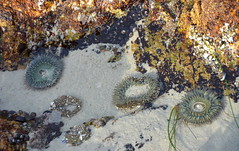 3 anemones (afagen) Tags: california pacificgrove asilomarstatebeach montereypeninsula asilomar beach pacificocean ocean tidepool giantgreenanemones anemone