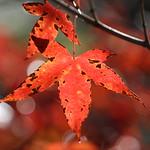 Maple thumbnail
