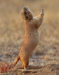 """All hail the prairie dog gods!!"" (Circled Thrice) Tags: rma rockymountainarsenal nationalwildliferefuge nwr refuge wild wildlife natural nature rodent prairiedog prairie aurora commercecity denver colorado co"