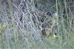 Short-eared Owl [Antillean] (Asio flammeus domingensis or portoricensis)05-04-2003 Dry Tortugas NP--Loggerhead Key, Monroe Co. FL (Birder20714) Tags: birds florida owls strigidae shorteared owl antillean asio flammeus domingensis portoricensis