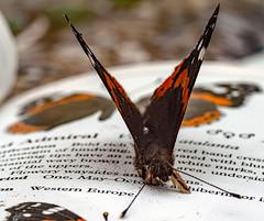 Red Admiral (c.richard) Tags: redadmiral vanessaatalanta butterfly macro sigma105mm closeup