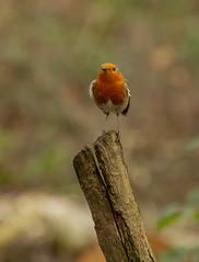 Robin (LindaShaws Images) Tags: robin wildlife bird british britishbird wod fradleyjunction fradleypool fradley staffordshire uk england redbreast december erithacusrubecula