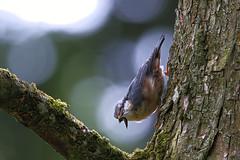 Kleiber mit Beute / eurasian Nuthatch with prey (uwe125) Tags: animal vogel kleiber beute prey nuthatch wildlife