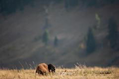 La sieste (Samuel Raison) Tags: bison bisons buffalo buffalos lamarvalley wildlife yellowstone yellowstonenationalpark yellowstonewildlife nikon nikond3 nikon4600mmafsgvr nikkor