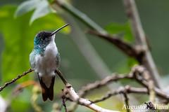DSC_3859.jpg (Augusto Ilian G) Tags: amaziliaandina andeanemerald amaziliafranciae