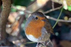 Robin me blind (The Legend Kay) Tags: ecology ecologylife explore adventure travel travelphotography llandudno wales greatorme orme thegreatorme nature naturephotography naturelovers robin bird birdphotography wildlife wildlifephotography animal animalphotography closeup feathers cute fluffy redbreast