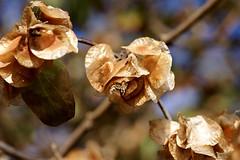Doppelschild / Rosy Dipelta (Dipelta floribunda) (HEN-Magonza) Tags: flora natur nature botanischergartenmainz botanicalgardensmainz dipeltafloribunda doppelschild rosydipelta linnaeadipelta herbst autumn