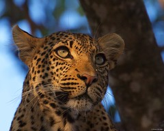 IMGP9664 Looking Up (Claudio e Lucia Images around the world) Tags: ruahanationalpark tanzania ruaha national park africa leopard leopardo young feline cat big eyes tree pentax pentaxk3ii sigma sigma50500 bigma sigmaart pentaxart nationalgeographic africageographic animale domestico sigmalens