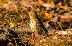 7K8A1112 (rpealit) Tags: scenery wildlife nature weldon brook management area hermit thrush bird