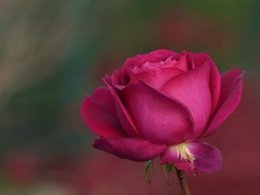 One Rose (Kaska Ppp) Tags: rose bokeh nature naturephotography natura flower flowers flora flowersphotography fleur floral november