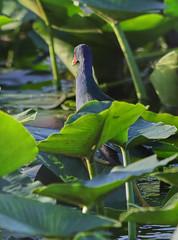 11-12-18-0041954 (Lake Worth) Tags: animal animals bird birds birdwatcher everglades southflorida feathers florida nature outdoor outdoors waterbirds wetlands wildlife wings