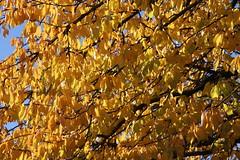 Autumn walk 2018 ### Herbstspaziergang 2018 (Mc Steff) Tags: autumn autumnwalk walk spaziergang herbstspaziergang herbst blatt blätter laub foliage leaf leaves tree trees baum bäume