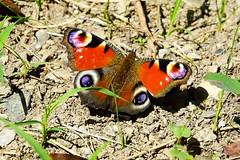 Paon du jour  Aglais io peacock (Ezzo33) Tags: paondujour aglaisiopeacock france gironde nouvelleaquitaine bordeaux ezzo33 nammour ezzat sony rx10m3 parc jardin papillon papillons butterfly butterflies specanimal