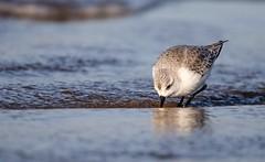 Sanderling at Ogmore (jackrichards8) Tags: sigma canon coast ogmore southwales wales outdoors nature wildlife sanderling