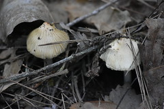 Setas (esta_ahi) Tags: masmoió bolets setas fungi torrentdemasmoió fontrubí penedès barcelona spain españa испания