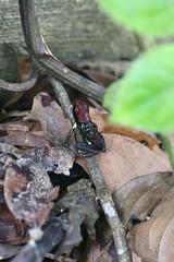 Ameerega bilinguis (Dendrobatidae) male transporting tadpoles (Dr. Alexey Yakovlev) Tags: misahualli ecuador dendrobatidae amphibia