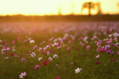 Cosmos field (Vincent_Ting) Tags: cosmos 波斯菊 微距 macro 散景 bokeh field taiwan zeiss100mmf2 vincentting closeup 特寫