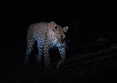 A leopard hunts in darkness (tickspics ) Tags: southluangwa zambia africanleopard africa felidae iucnredlistvulnerable pantherapardus pantherinae southluangwanationalpark