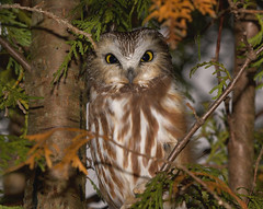 Hiding in plain sight (cseager40) Tags: owls whet saw wild ontario cedar tree