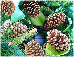 Pine Cones .. (** Janets Photos **) Tags: pinecones nature macro closeups uk